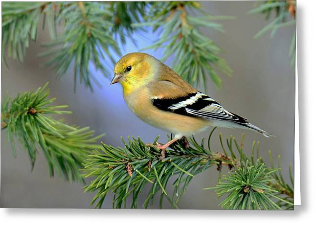 Goldfinch In A Fir Tree Greeting Card by Rodney Campbell