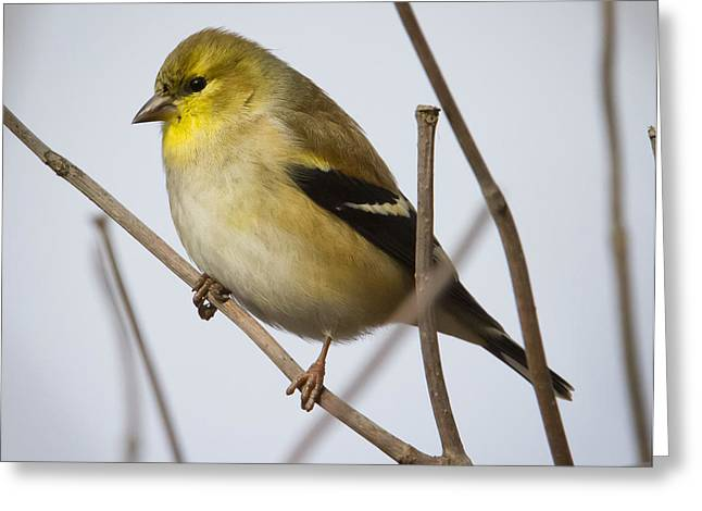 Greeting Card featuring the photograph Goldfinch In It's Winter Coat by Ricky L Jones