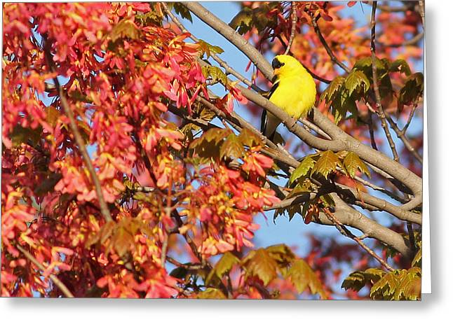 Goldfinch In Spring Maple Tree Greeting Card