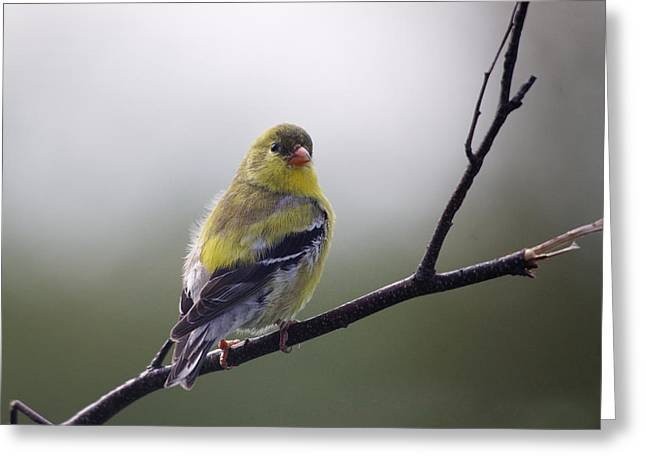 Greeting Card featuring the photograph Goldfinch Molting To Breeding Colors by Susan Capuano