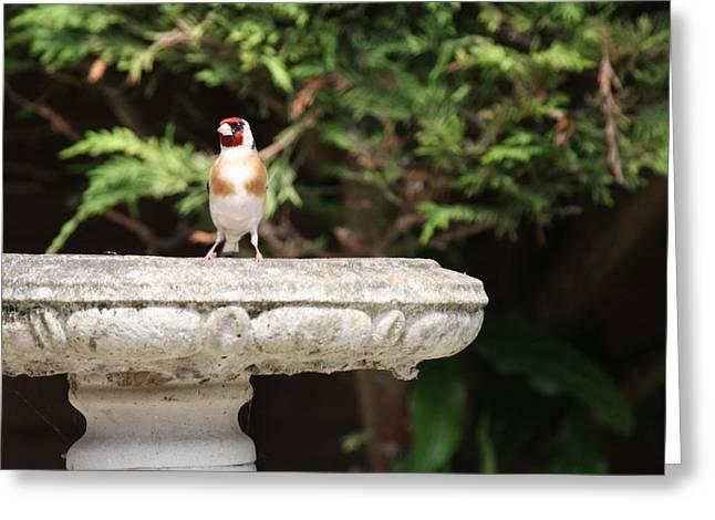 Goldfinch On Birdbath Greeting Card by Gordon Auld
