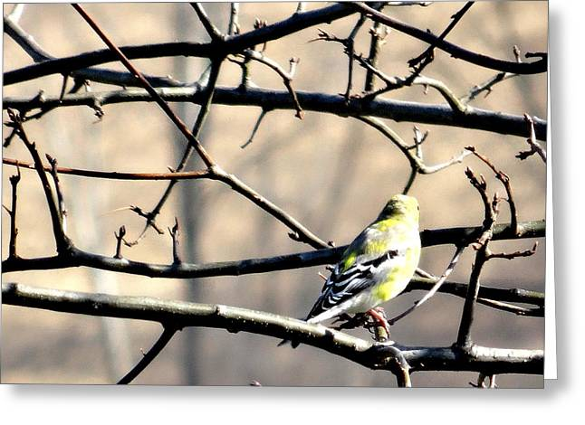 Goldfinch On Budding Branch Greeting Card