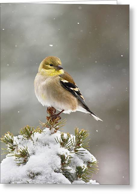 Goldfinch In The Snow Greeting Card