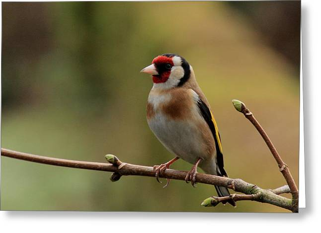 Goldfinch Greeting Card by Peter Skelton