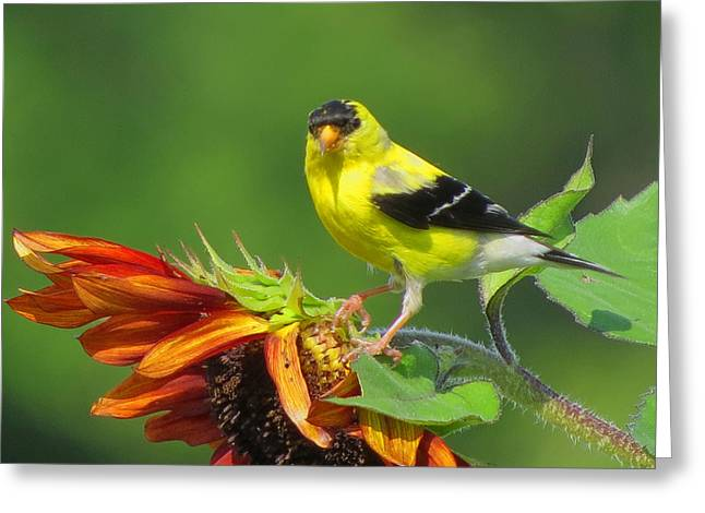 Greeting Card featuring the photograph Goldfinch Pose by Dianne Cowen