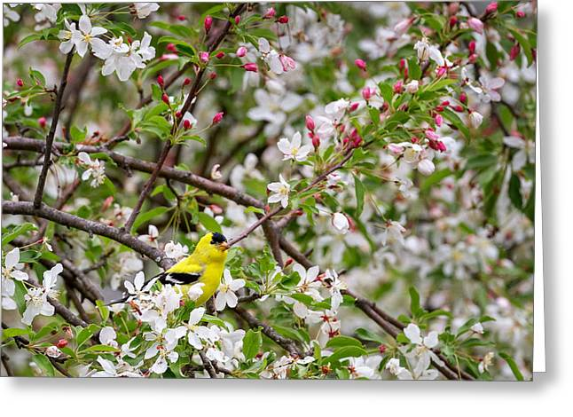 Goldfinch Square Greeting Card