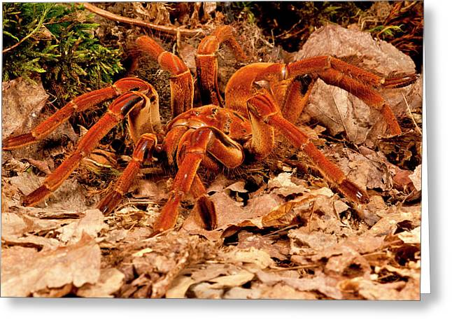 Goliath Bird-eater Spider, Theraphosa Greeting Card by David Northcott