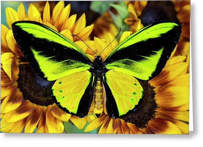 Goliath Birdwing Butterfly Greeting Card by Darrell Gulin