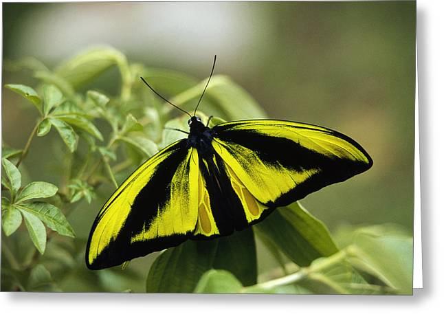 Goliath Birdwing Butterfly Irian Jaya Greeting Card