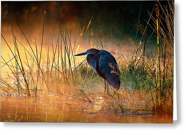 Goliath Heron With Sunrise Over Misty River Greeting Card by Johan Swanepoel