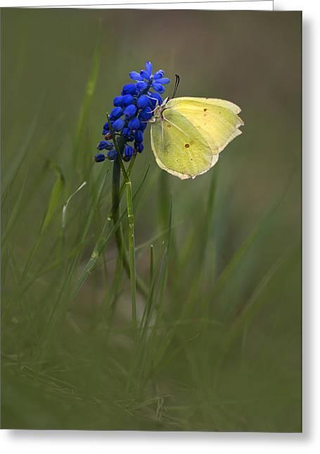 Gonepteryx Rhamni On The Dark Blue Flower Greeting Card by Jaroslaw Blaminsky