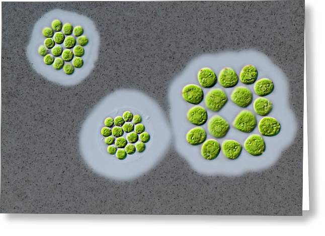 Gonium Sp. Green Alga Greeting Card by Gerd Guenther