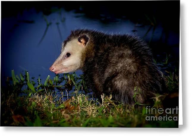 Greeting Card featuring the photograph Good Night Possum by Olga Hamilton