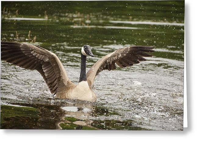 Goose Action Greeting Card by Karol Livote