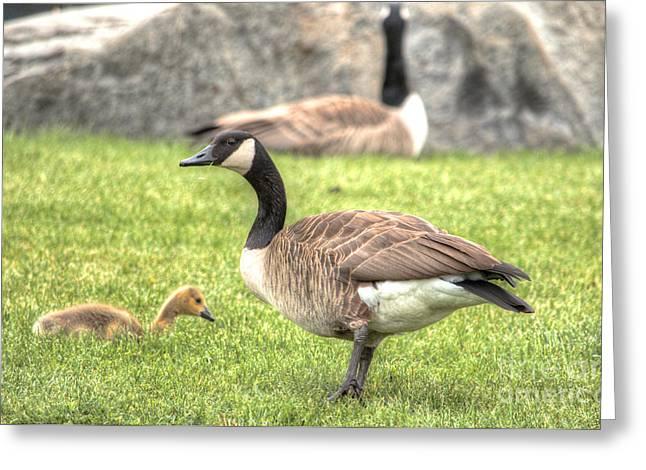 Goose And Gosling Afternoon Graze Greeting Card by Deborah Smolinske