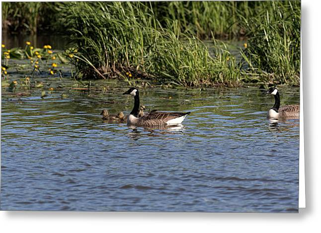 Greeting Card featuring the photograph Goose Family In The Water by Leif Sohlman