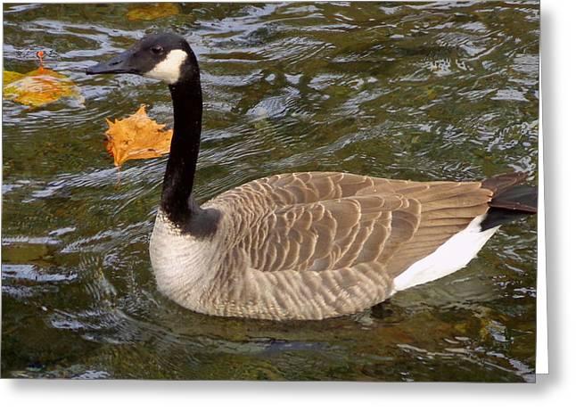 Goose On The Water Greeting Card by Joseph Skompski