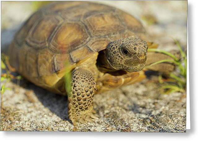 Gopher Tortoise, Gopherus Polyphemus Greeting Card