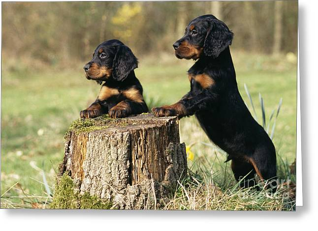Gordon Setter Puppy Dogs Greeting Card by John Daniels