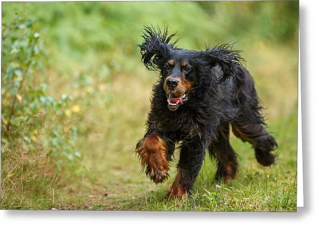 Gordon Setter Running In Grass Greeting Card by Izzy Standbridge