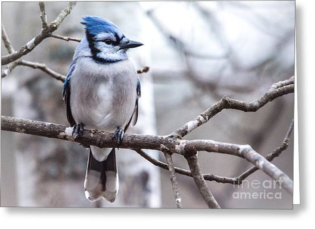 Gorgeous Blue Jay Greeting Card by Cheryl Baxter
