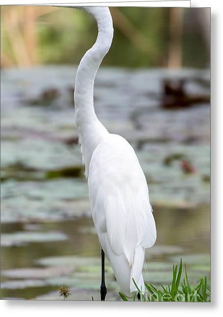 Gorgeous N Tall Great White Egret Greeting Card by Sabrina L Ryan
