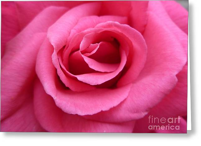 Gorgeous Pink Rose Greeting Card by Vicki Spindler