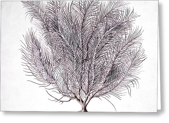 Gorgonian Coral, Artwork Greeting Card by Science Photo Library