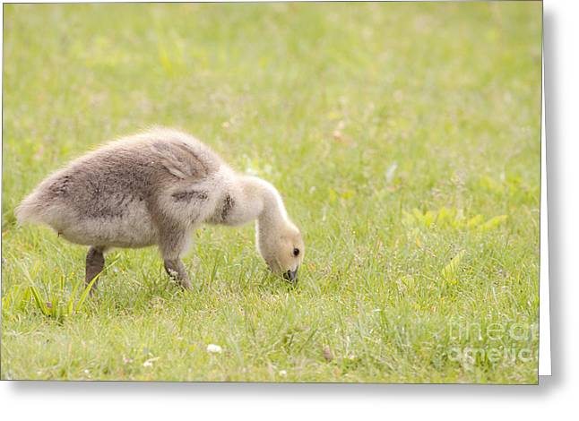 Gosling Greeting Card by Jeannette Hunt
