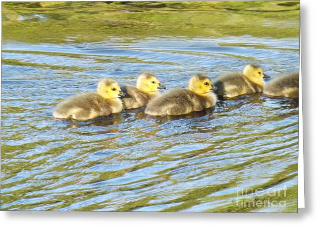 Goslings Afternoon Swim Greeting Card by Brenda Brown