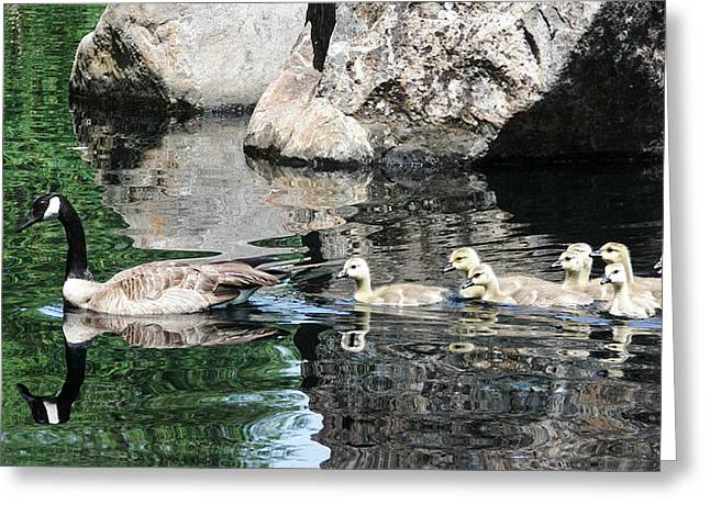 Goslings Reflection Greeting Card