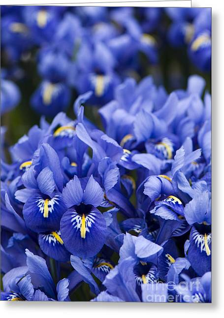 Got The Iris Blues Greeting Card by Anne Gilbert