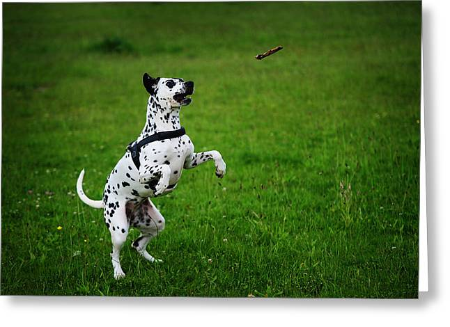 Gotta It. Kokkie. Dalmation Dog Greeting Card