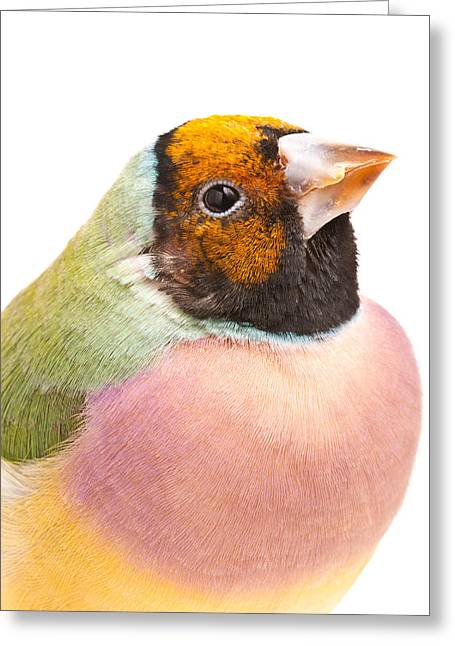 Gouldian Finch Erythrura Gouldiae Greeting Card by David Kenny