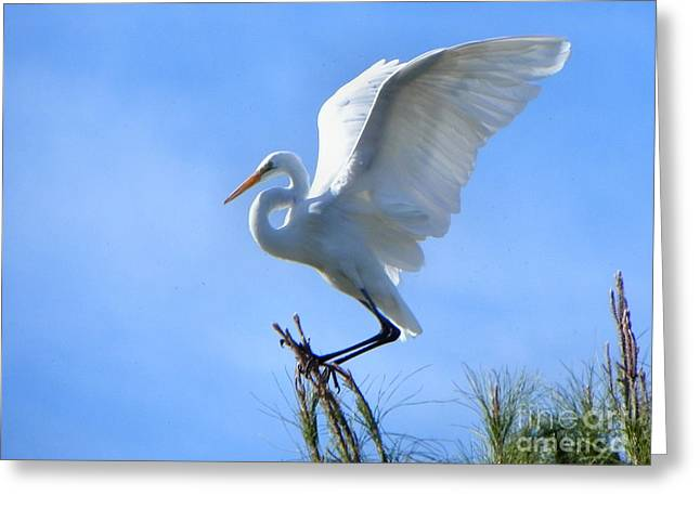 Greeting Card featuring the photograph Graceful Landing by Deb Halloran
