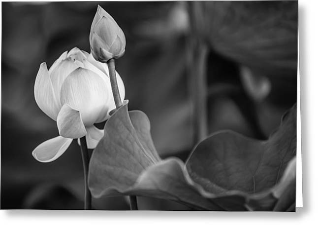Graceful Lotus. Balck And White. Pamplemousses Botanical Garden. Mauritius Greeting Card by Jenny Rainbow