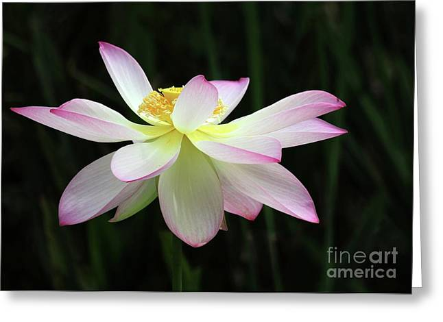 Graceful Lotus Greeting Card by Sabrina L Ryan