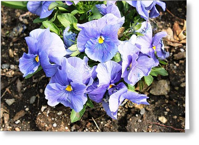 Greeting Card featuring the photograph Graceful Pansies by Judy Palkimas