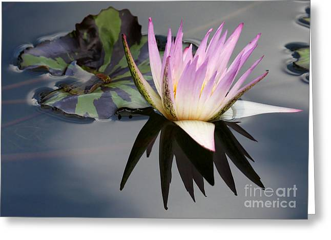 Graceful Water Lily Greeting Card by Sabrina L Ryan