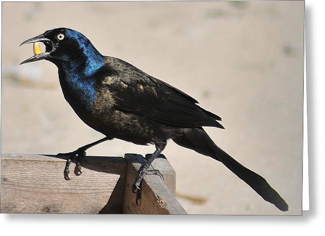 Grackle Chow Down Greeting Card