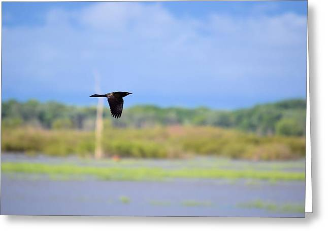 Grackle In Flight Greeting Card by Bonfire Photography