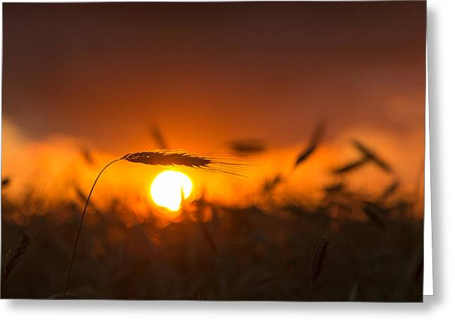 Sunset Over The Cornfield Greeting Card by Aldona Pivoriene