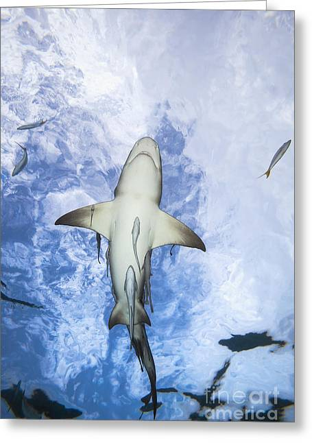 Grand Bahamas, West End, Lemon Shark _negaprion Brevirostris_ Underwater With Remoras. Greeting Card by Dave Fleetham