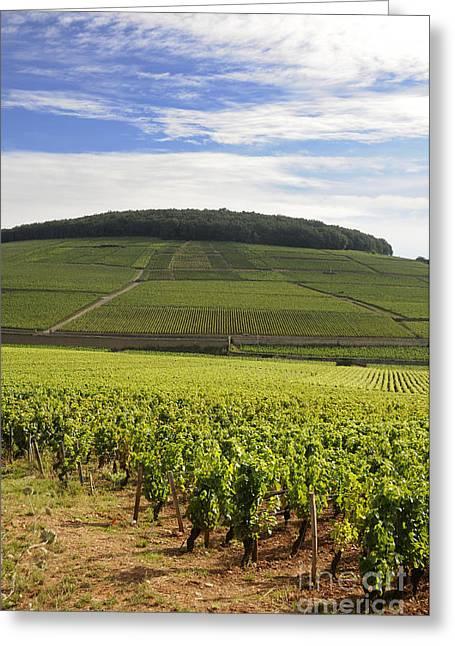 Grand Cru And Premier Cru Vineyards Of Aloxe Corton. Cote De Beaune. Burgundy. France. Europe. Greeting Card