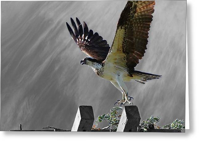 Grand Ole Osprey Greeting Card by Davandra Cribbie