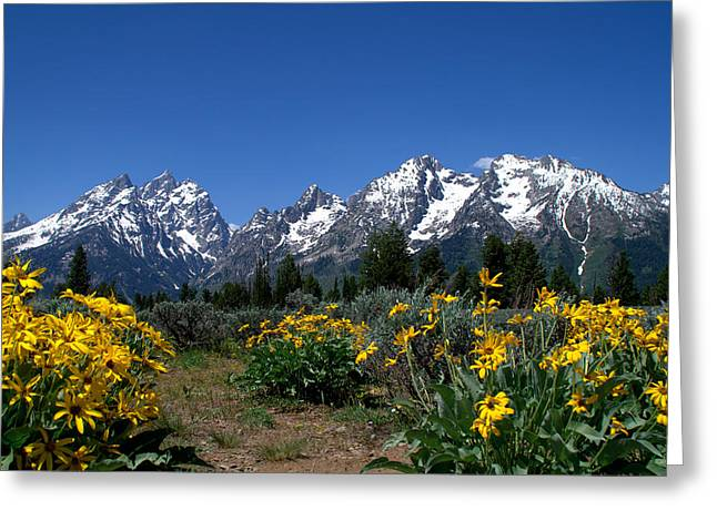 Snow-covered Landscape Greeting Cards - Grand Teton Arrow Leaf Balsamroot Greeting Card by Brian Harig