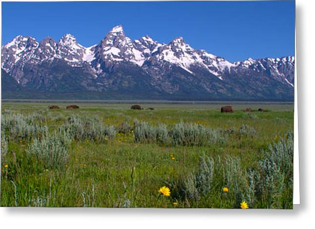 Grand Teton Bison Greeting Card by Brian Harig