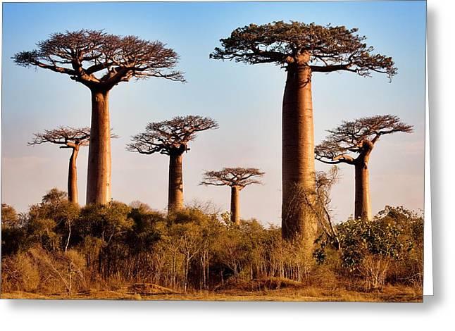 Grandidier's Baobab Trees Greeting Card by Alex Hyde