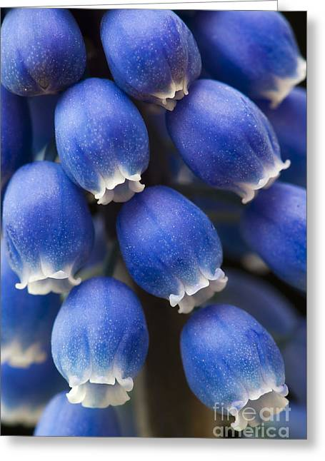Grape Hyacinth Flower  Greeting Card by Tim Gainey