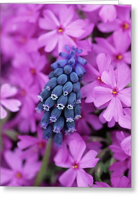 Grape Hyacinth In Phlox In Garden Greeting Card